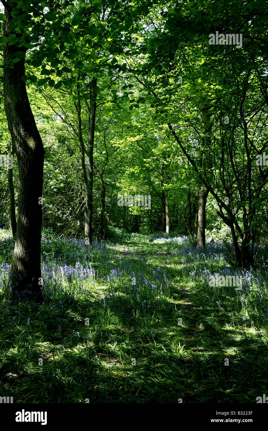 Essex Woodland in May early summer with abundance of bluebelles or Bluebells growing on the woodland floor in an - Stock Image