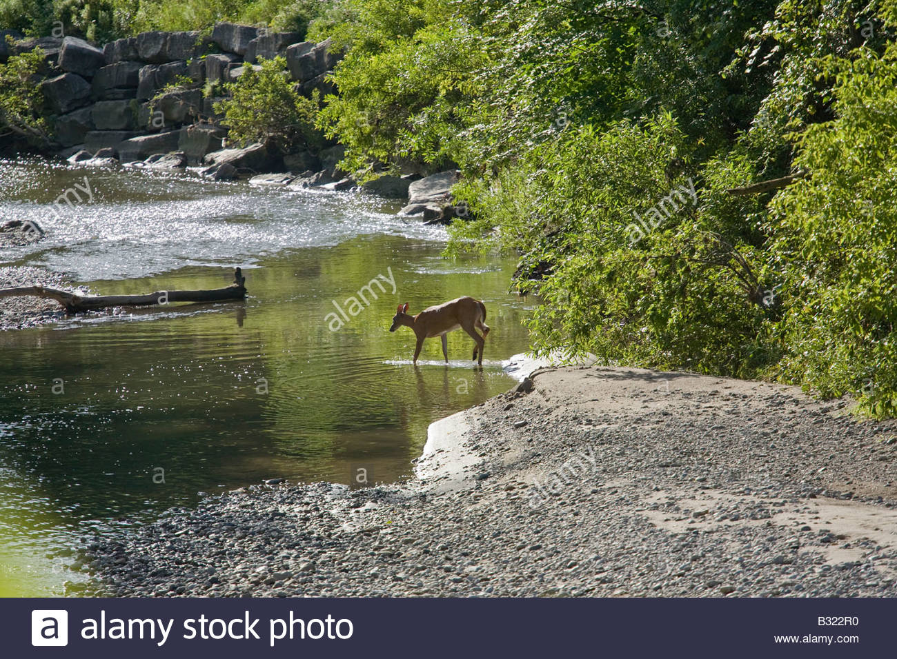 White tailed Deer crossing Highland Creek in Morningside Park in Toronto Ontario Canada - Stock Image