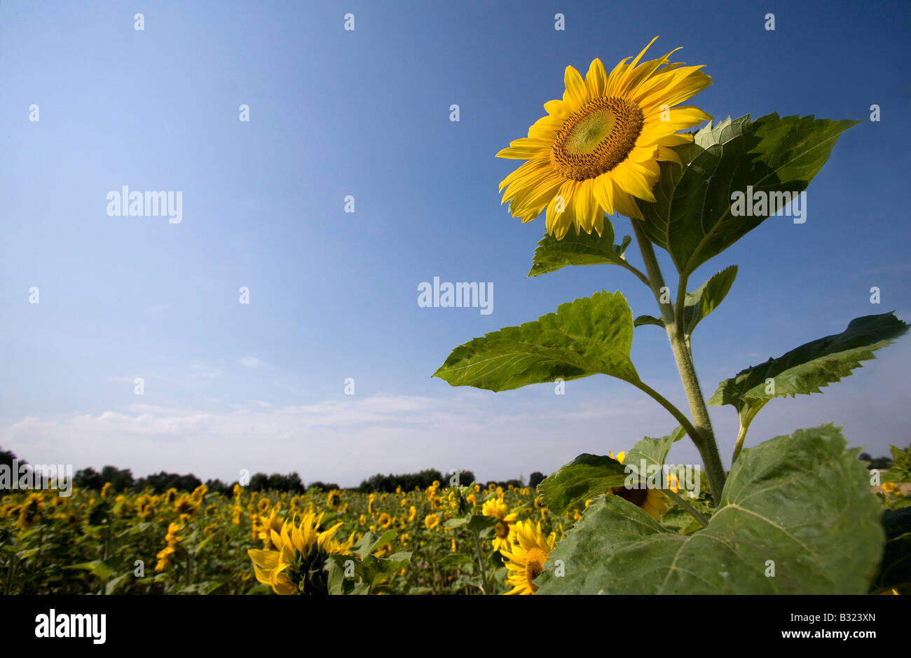 Field with sunflowers - Stock Image
