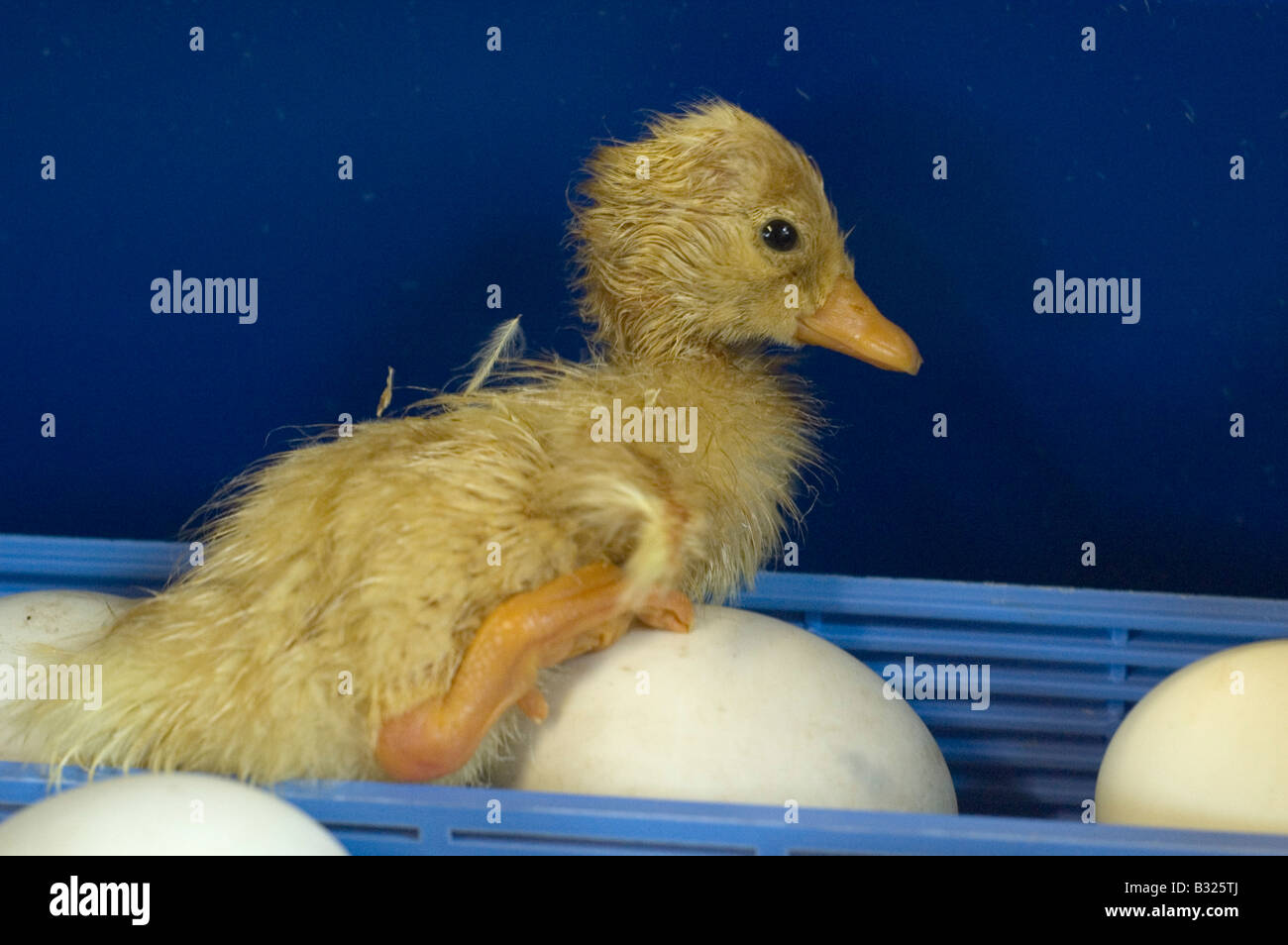 A newly hatched aylesbury duck in an incubator - Stock Image