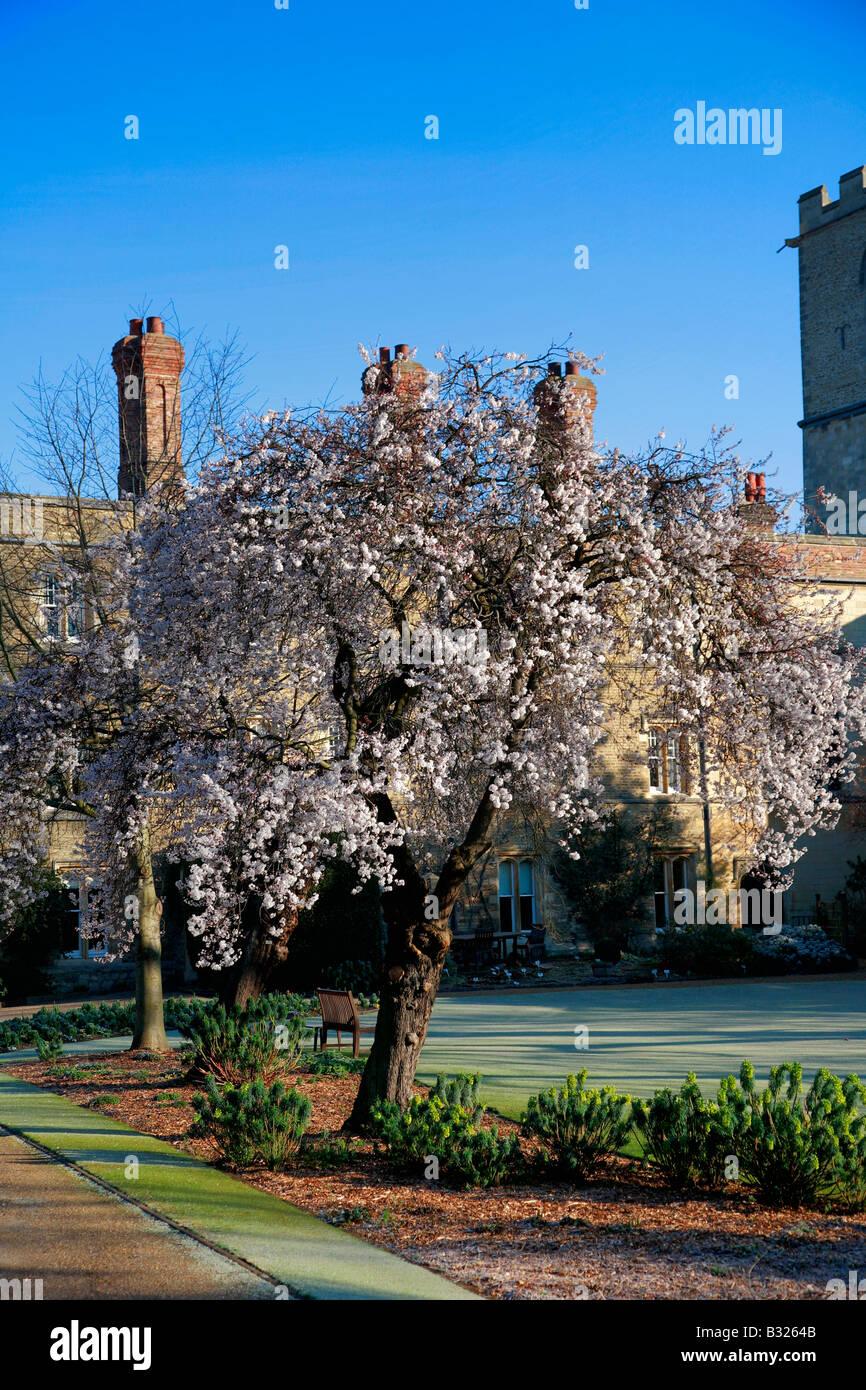 Spring Cherry Tree at Jesus College Cloisters University of Cambridge City Cambridgeshire England Britain UK - Stock Image