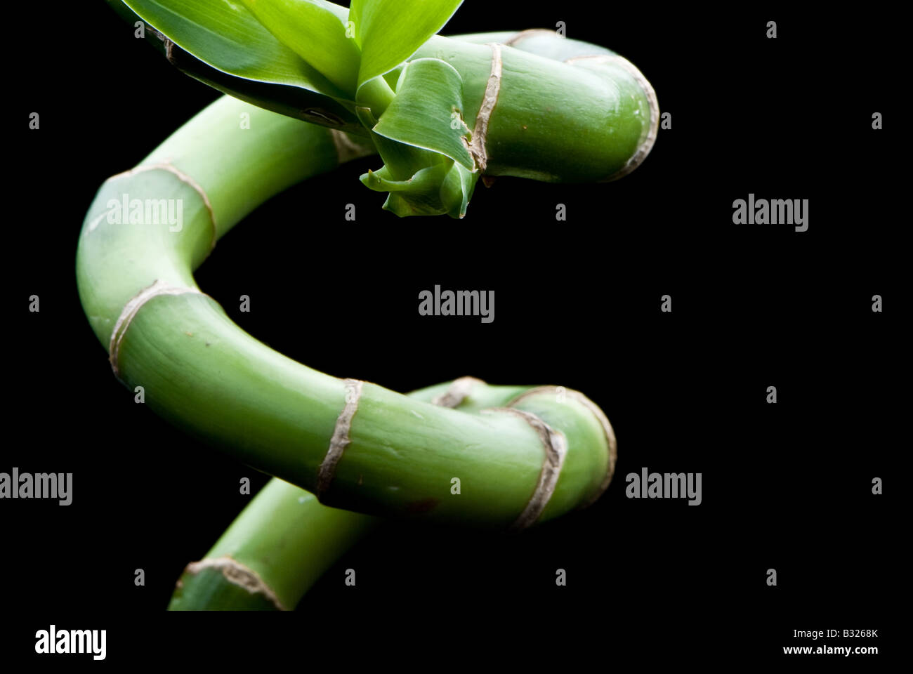 A curved shoot of bamboo on a black background - Stock Image