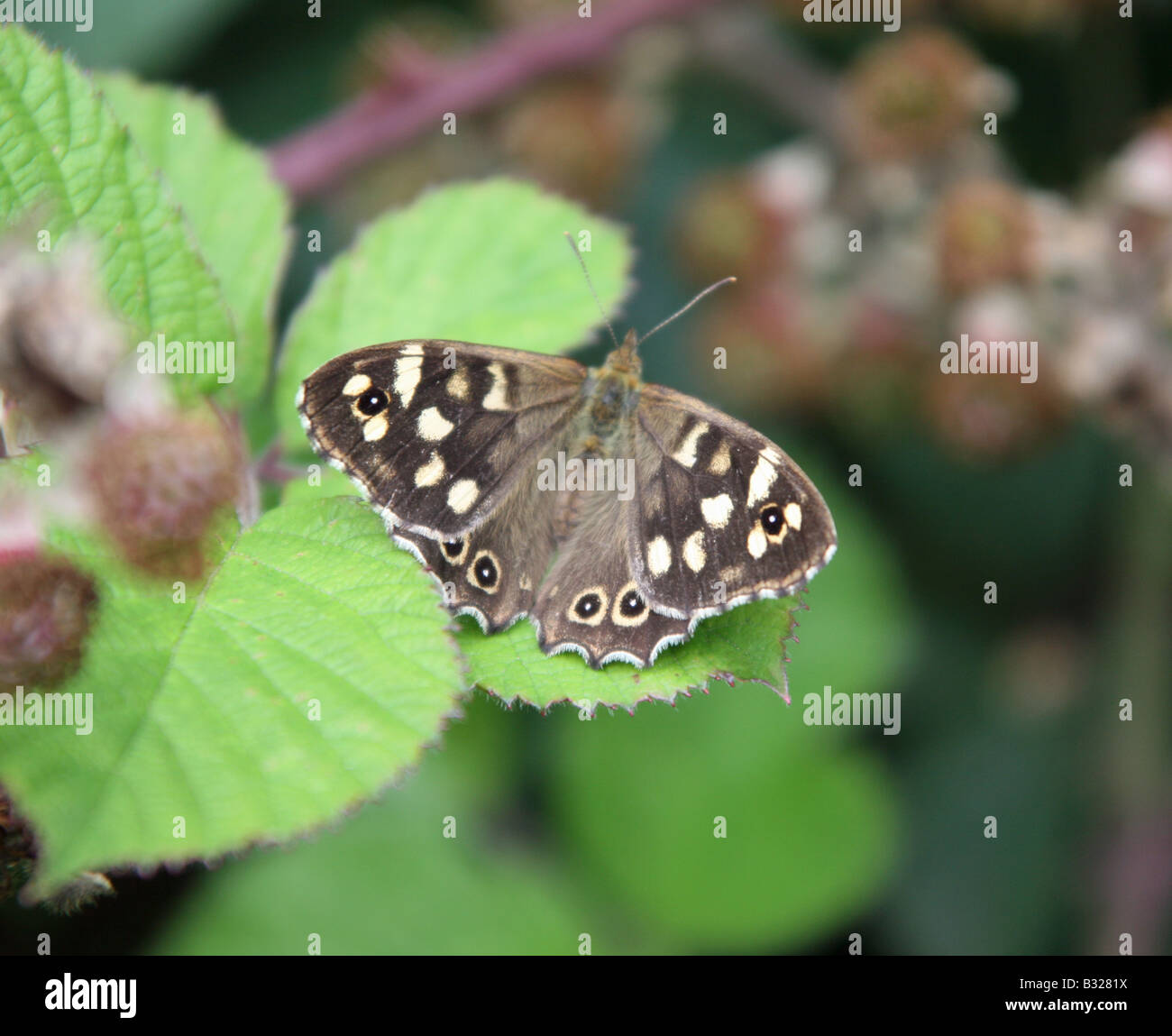 A Speckled Wood (Pararge aegeria) butterfly - Stock Image