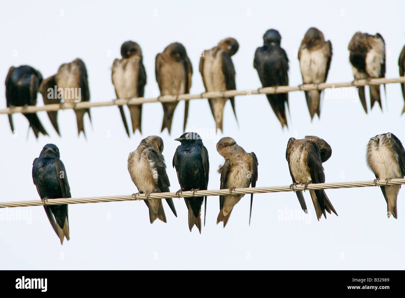 Purple Martins on Utility Wire - Stock Image