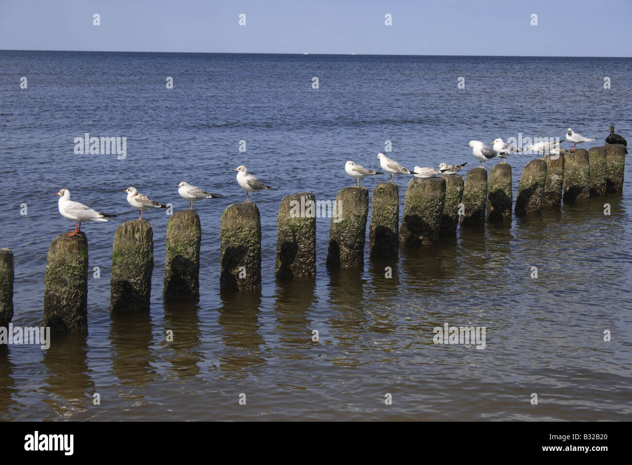 seagulls sitting on groins at the Baltic Sea at Mecklenburg Vorpommern Usedom Island Germany Europe. Photo by Willy - Stock Image