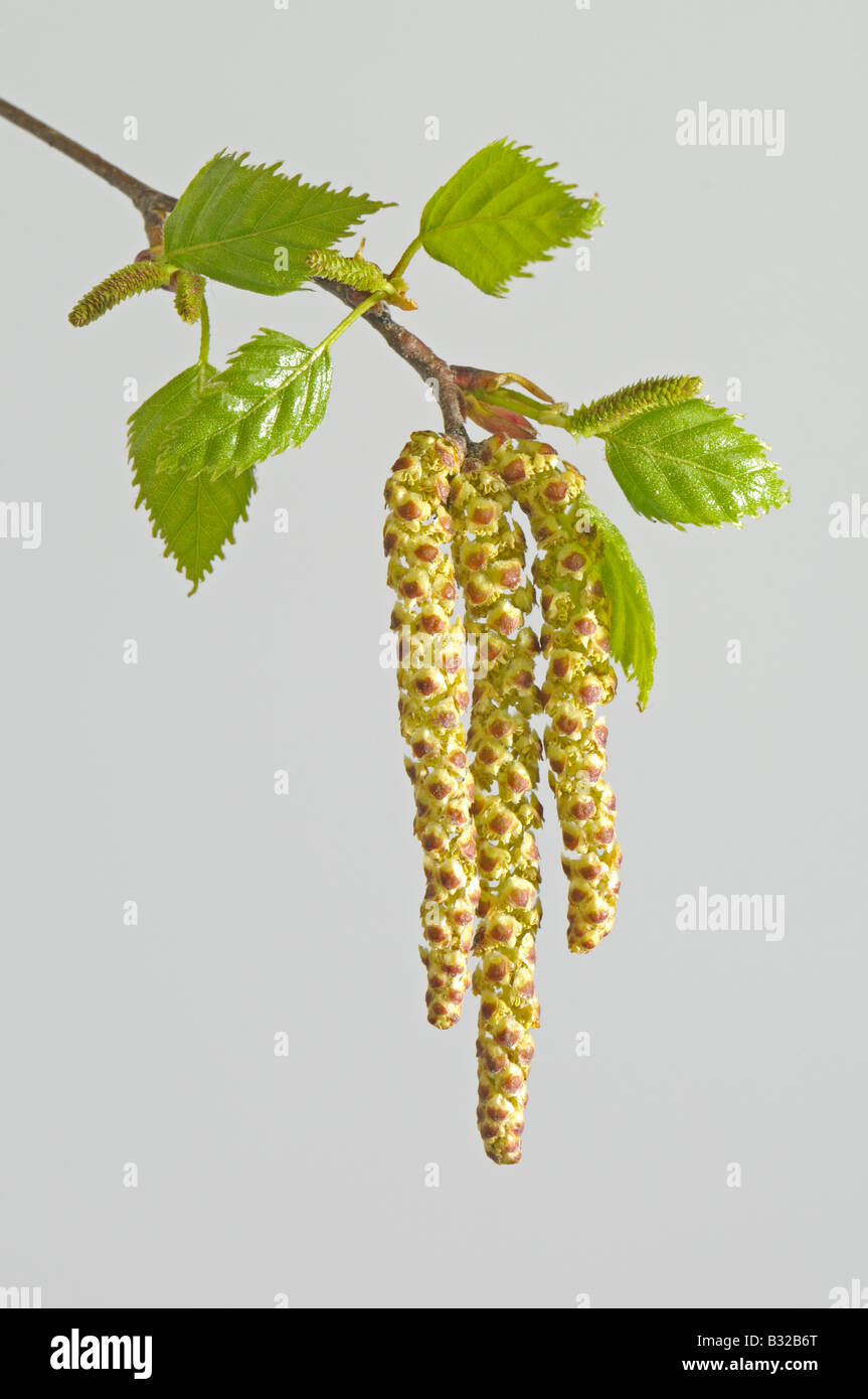 Silver Birch, European Birch (Betula pendula), twig with leaves and male blossoms - Stock Image