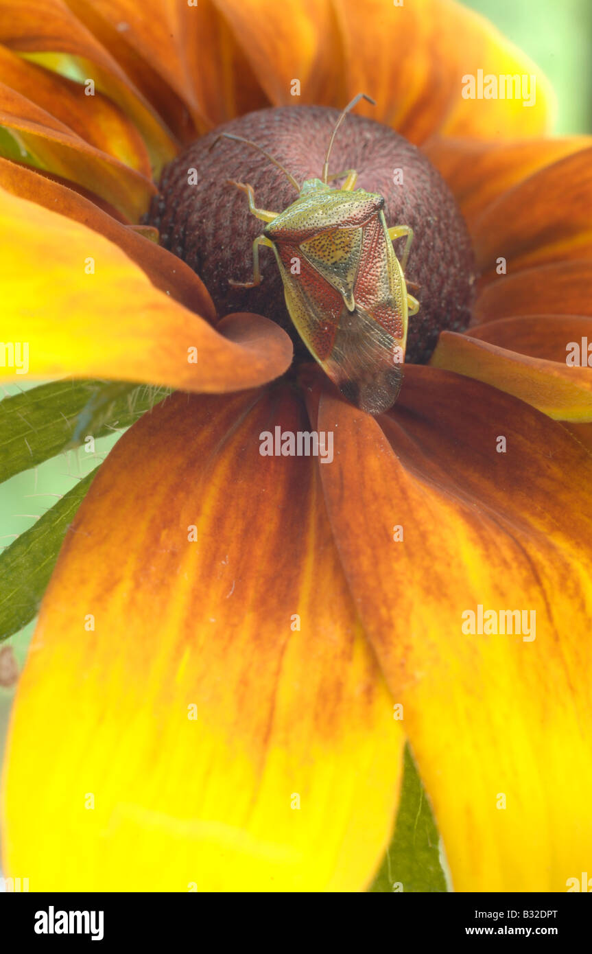 Green shield bug on a Rudbeckia flower Stock Photo
