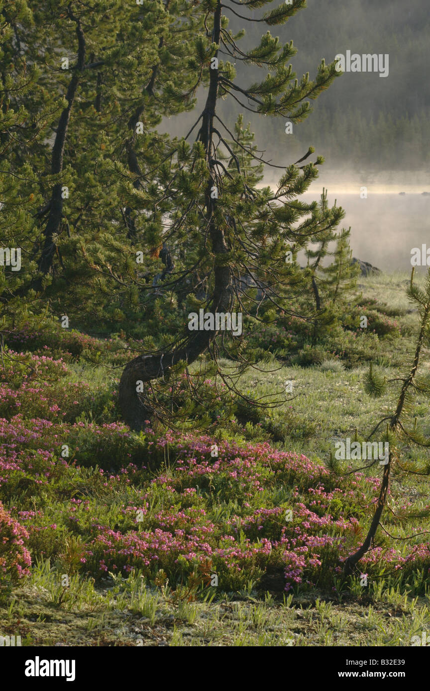 An elegantly curved pine tree sits in amongst pink flowers at an elegantly curved pine tree sits in amongst pink flowers at sunrise on the shore of a misty mountain lake mightylinksfo