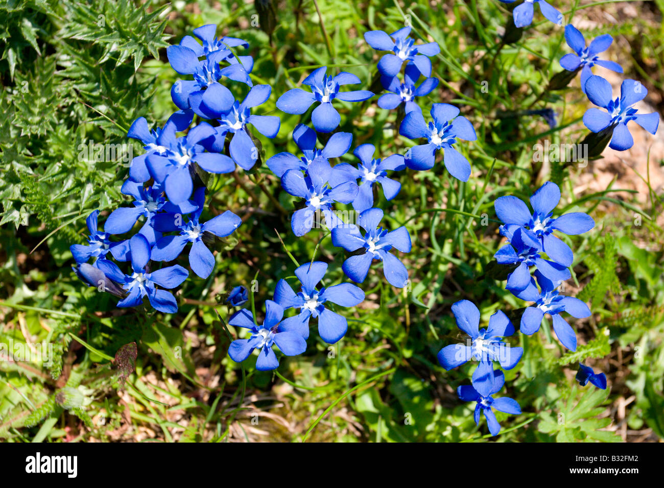 Kitzbühler Horn Aurach Trek: Wild Flowers: Bavarian Gentians - Stock Image
