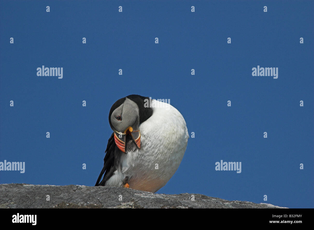 A preening Puffin on the island of Mingulay, Outer Hebrides, Scotland. - Stock Image