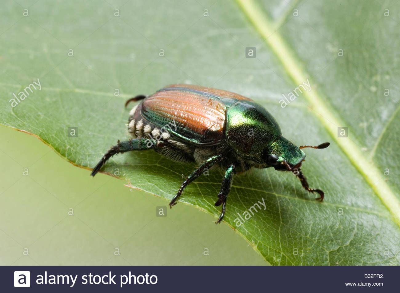 Japanese beetle - Stock Image