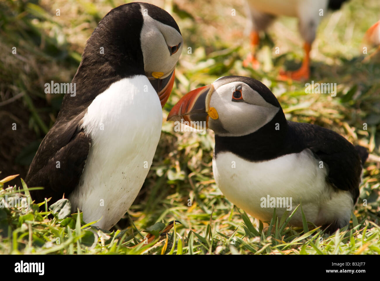 two puffins billing their bills as a sign of courtship - Stock Image