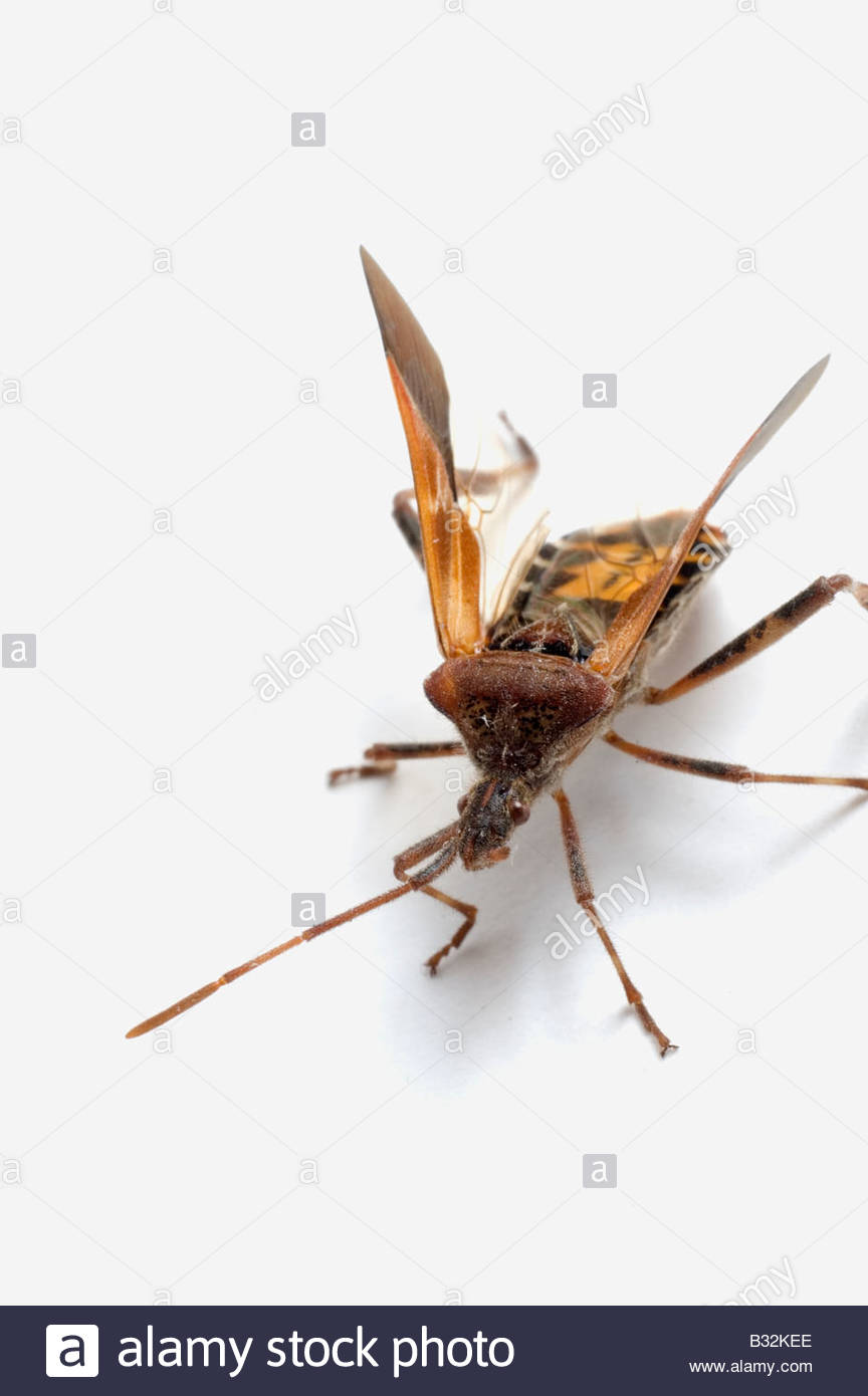 Western Conifer Seed Bug Leptoglossus accidentalis - Stock Image