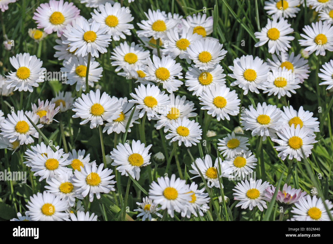 Bellis perennis flowers stock photos bellis perennis flowers stock common daisy english daisy meadow daisy bellis perennis flowers stock izmirmasajfo