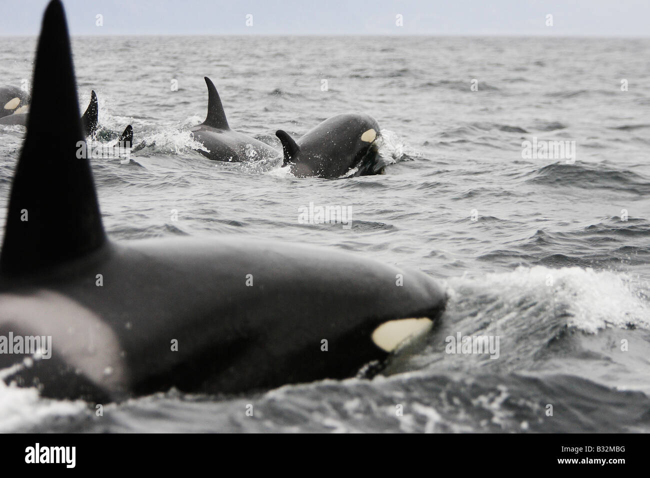 Orca Whale Killer Whale (Orcinus orca) Pod near the Lofoten - Stock Image