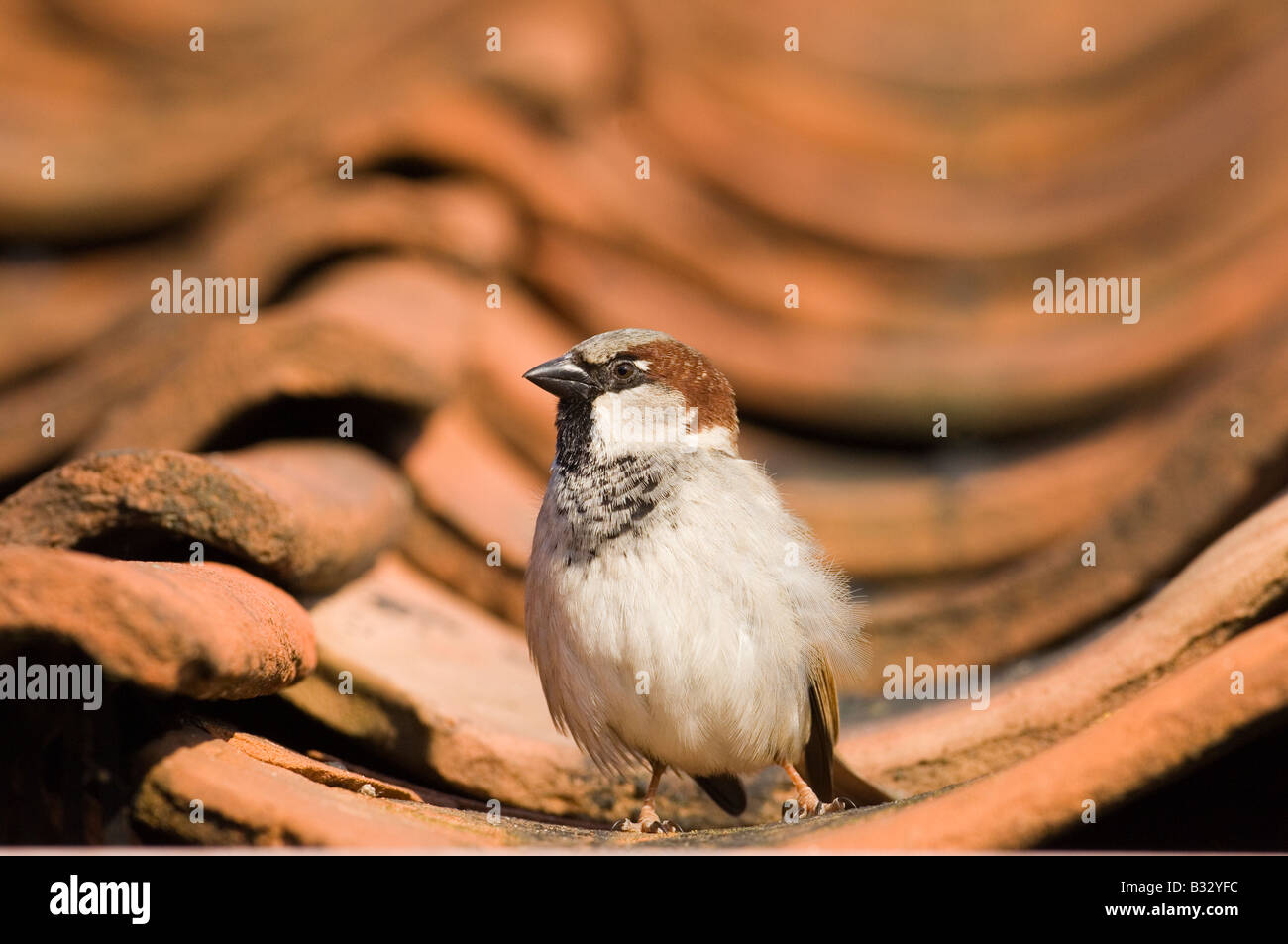 House Sparrow Passer domesticus on tiled roof Norfolk spring - Stock Image