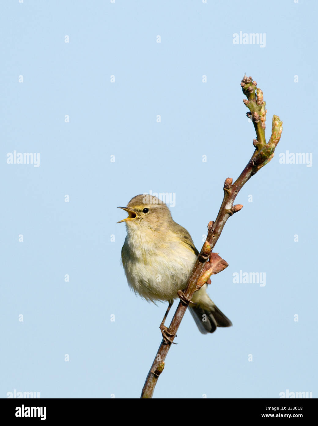Chiffchaff Phylloscopus collybita in song Cley Norfolk April - Stock Image
