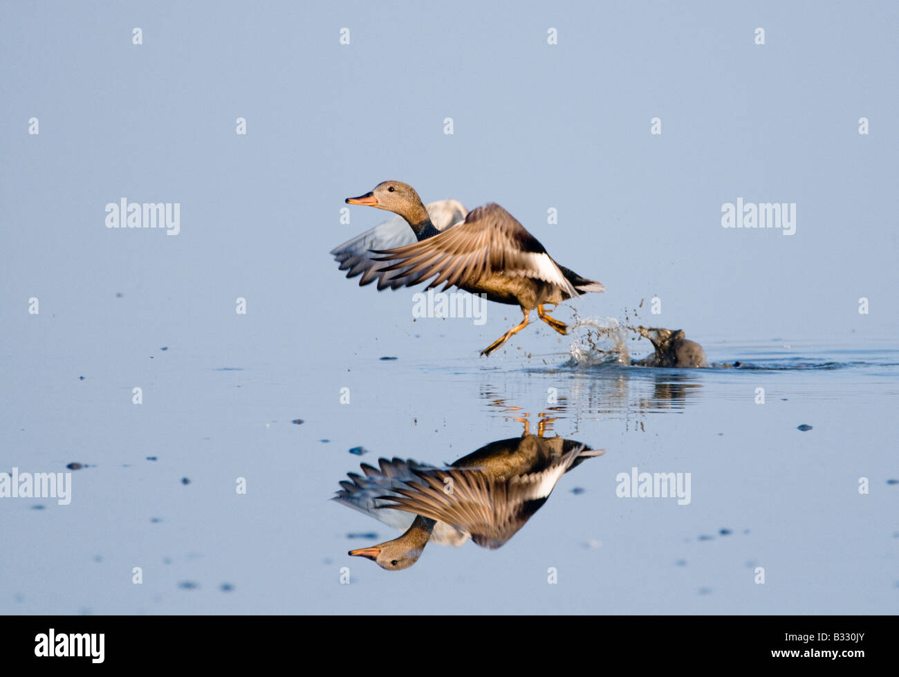Gadwall Anas strepera male taking off Cley Norfolk April - Stock Image