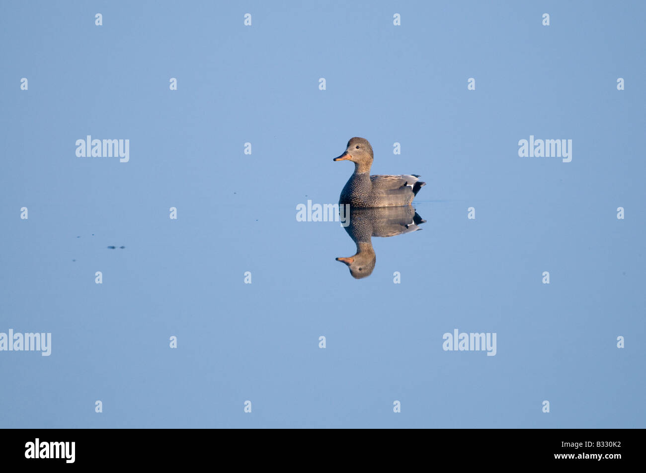 Gadwall Anas strepera male Cley Norfolk April - Stock Image