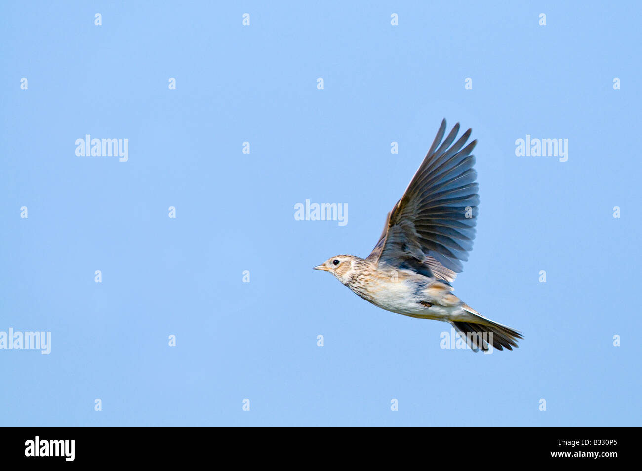 Skylark Alauda arvensis in song flight Norfolk April - Stock Image