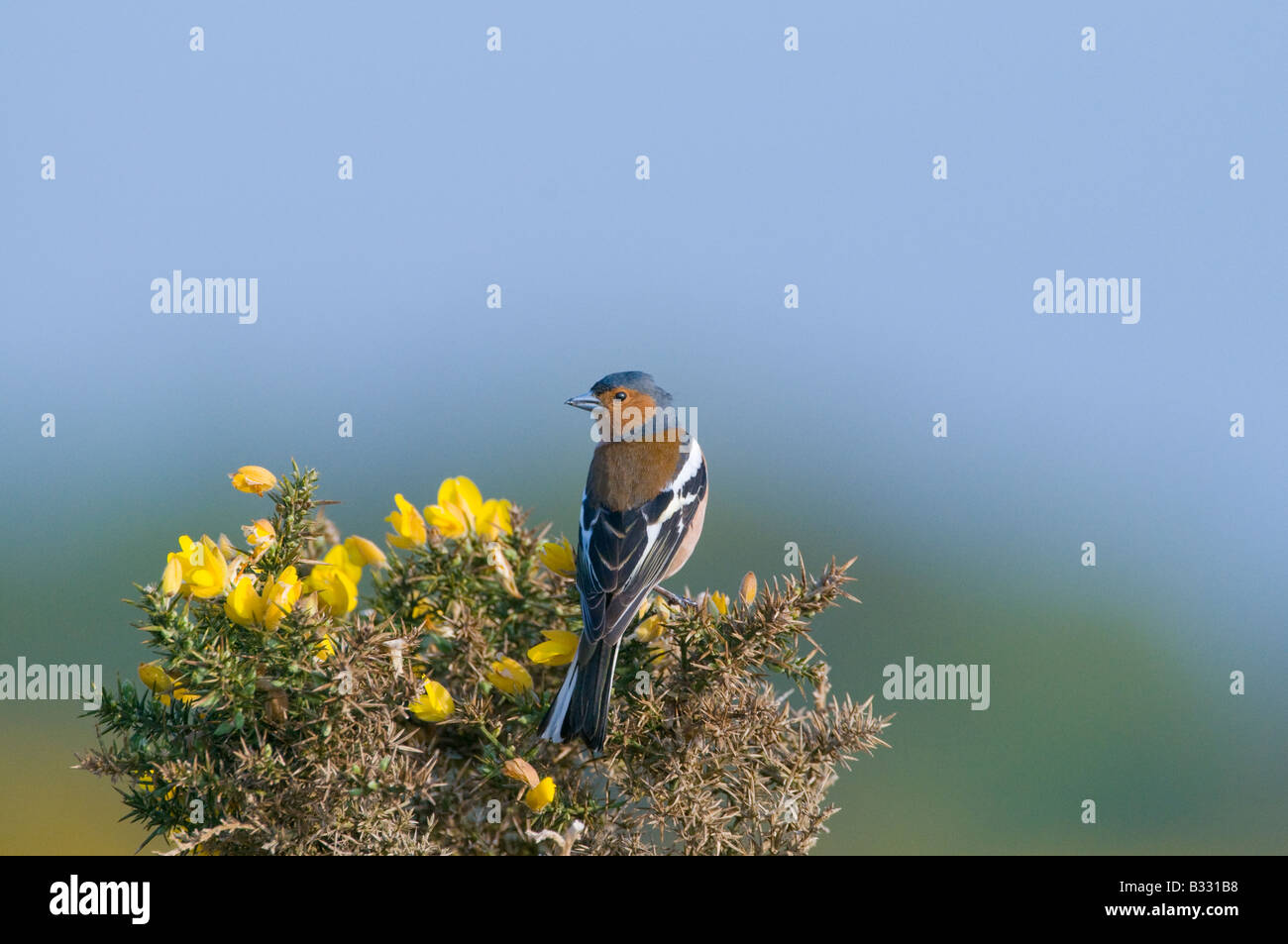Chaffinch Fringilla coelebs male Norfolk April - Stock Image