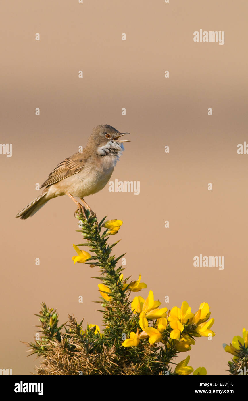 Whitethroat Sylvia communis in song Minsmere RSPB Reserve May - Stock Image