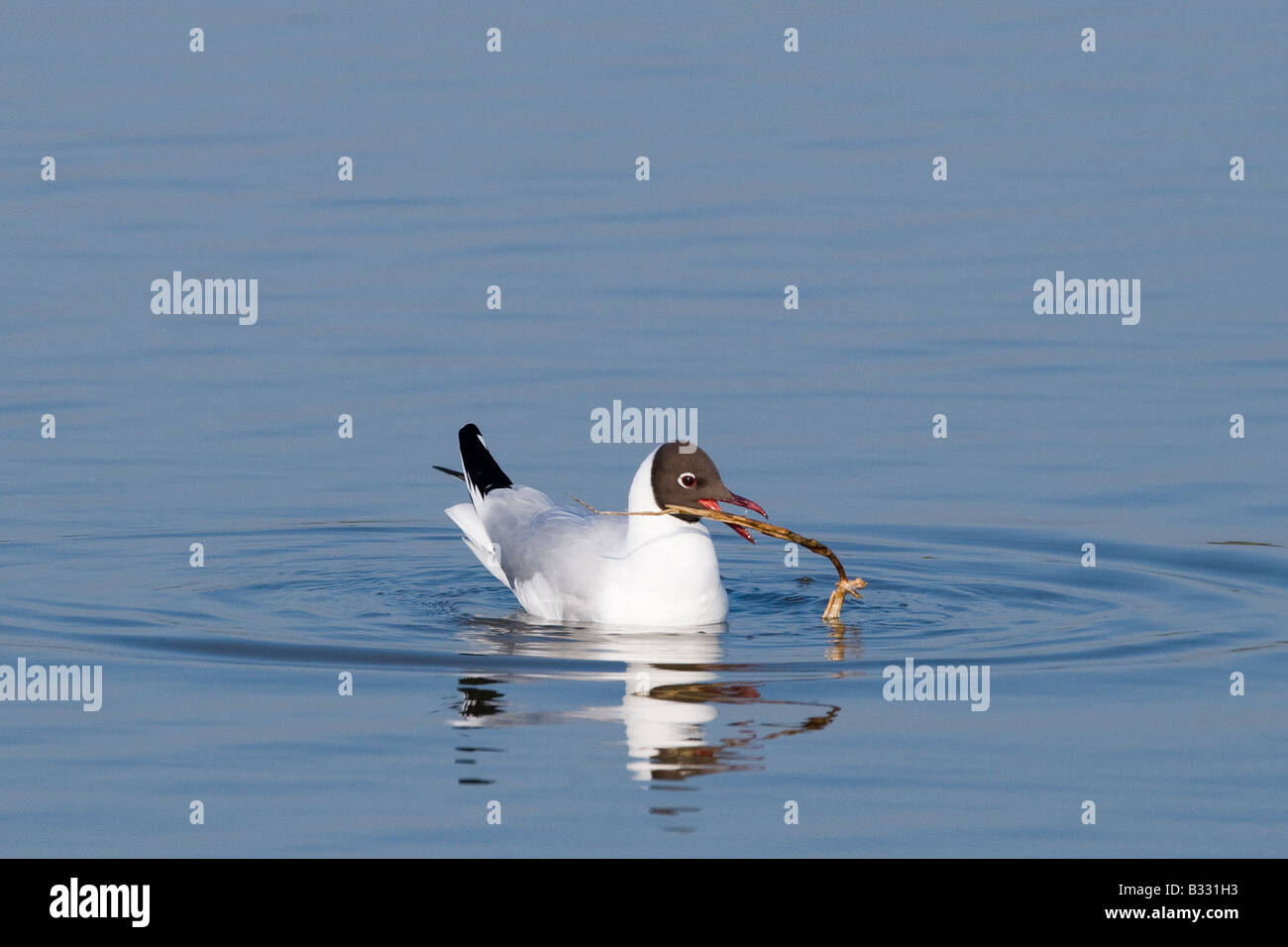 Black headed Gull Larus ridibundus adult with nest material on scrape at Minsmere RSPB Reserve Suffolk May Stock Photo
