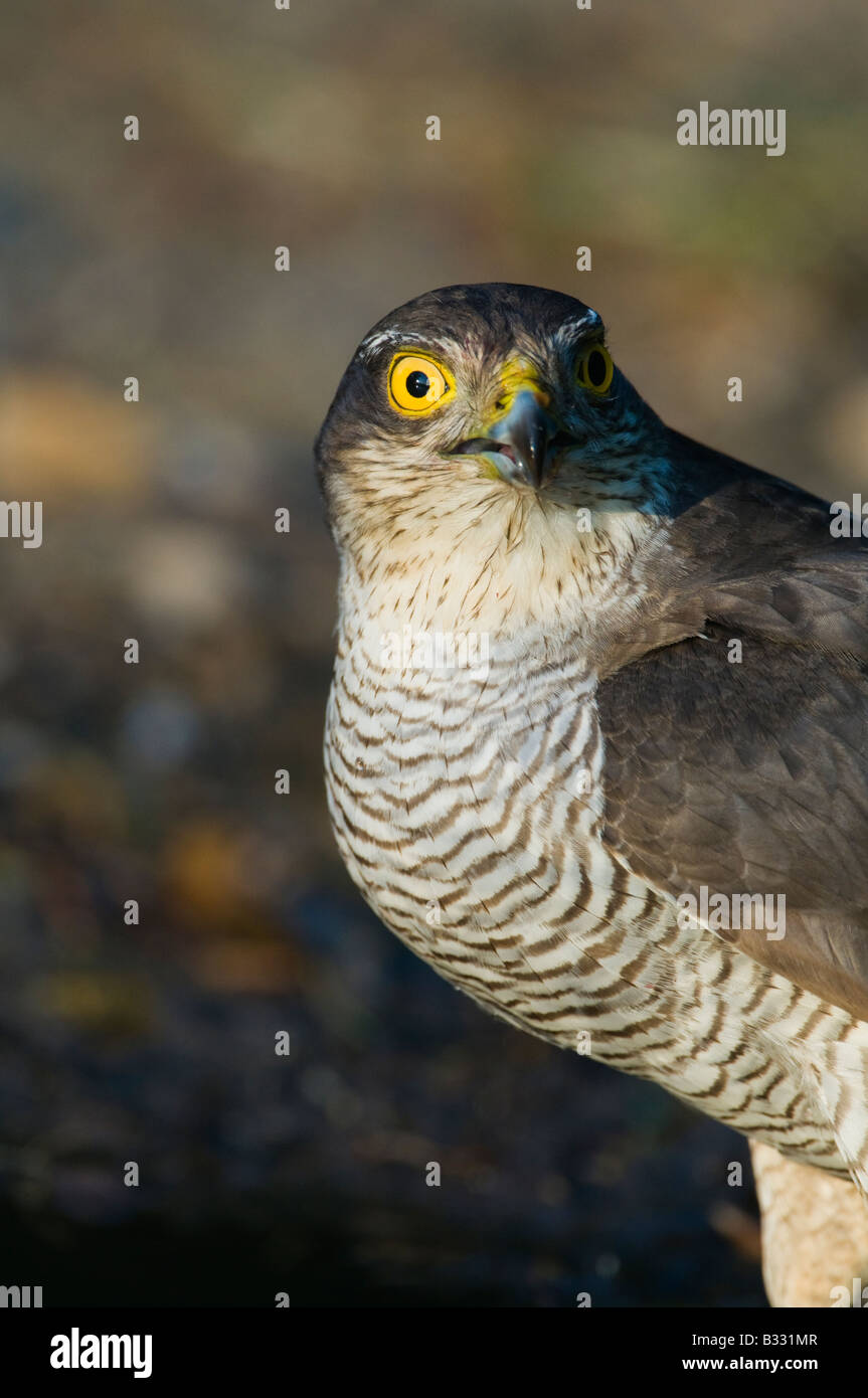 Sparrowhawk Accipiter nisus drinking at pool Norfolk spring - Stock Image