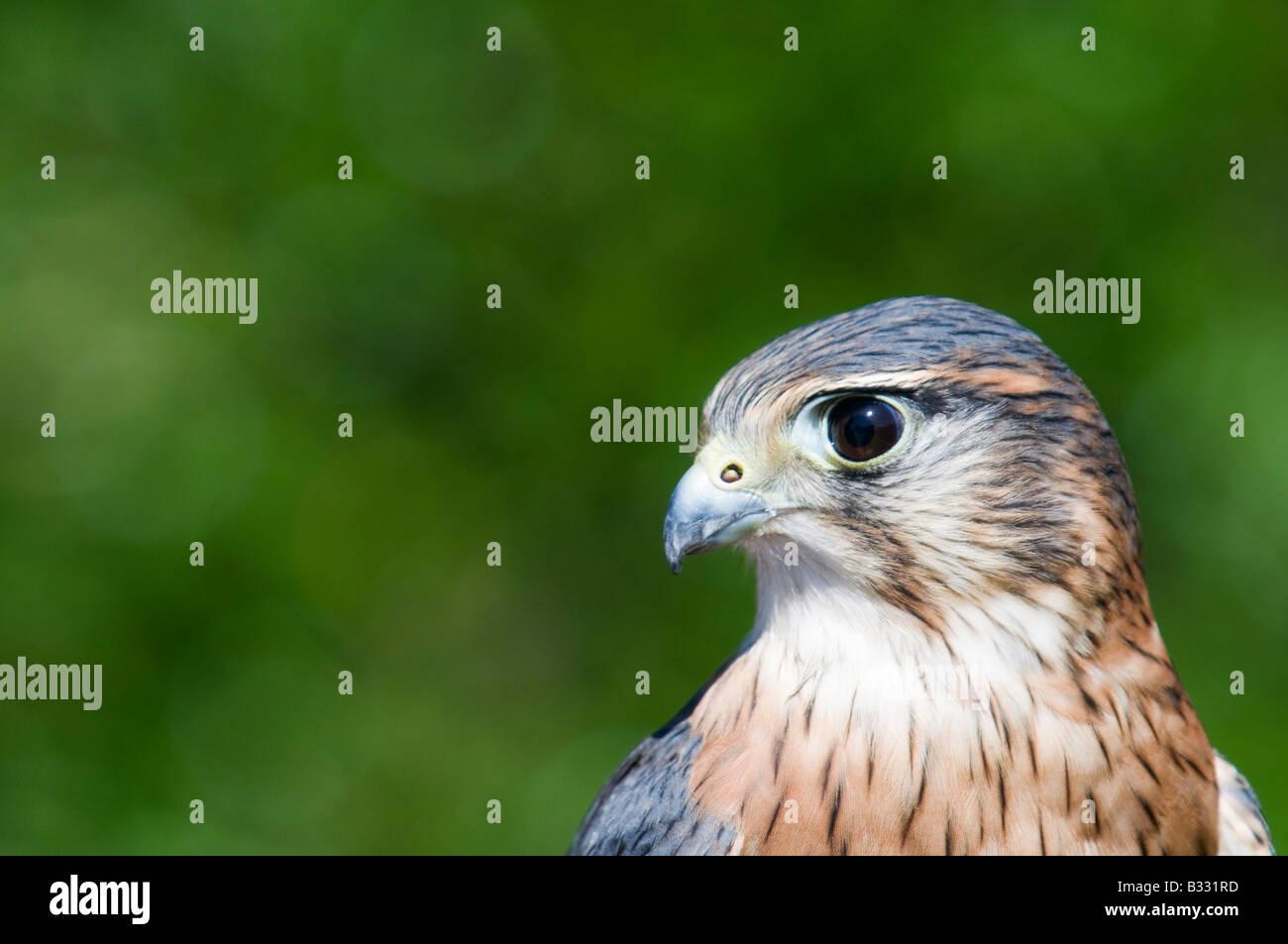 Merlin Falco columbarius close up of males head - Stock Image