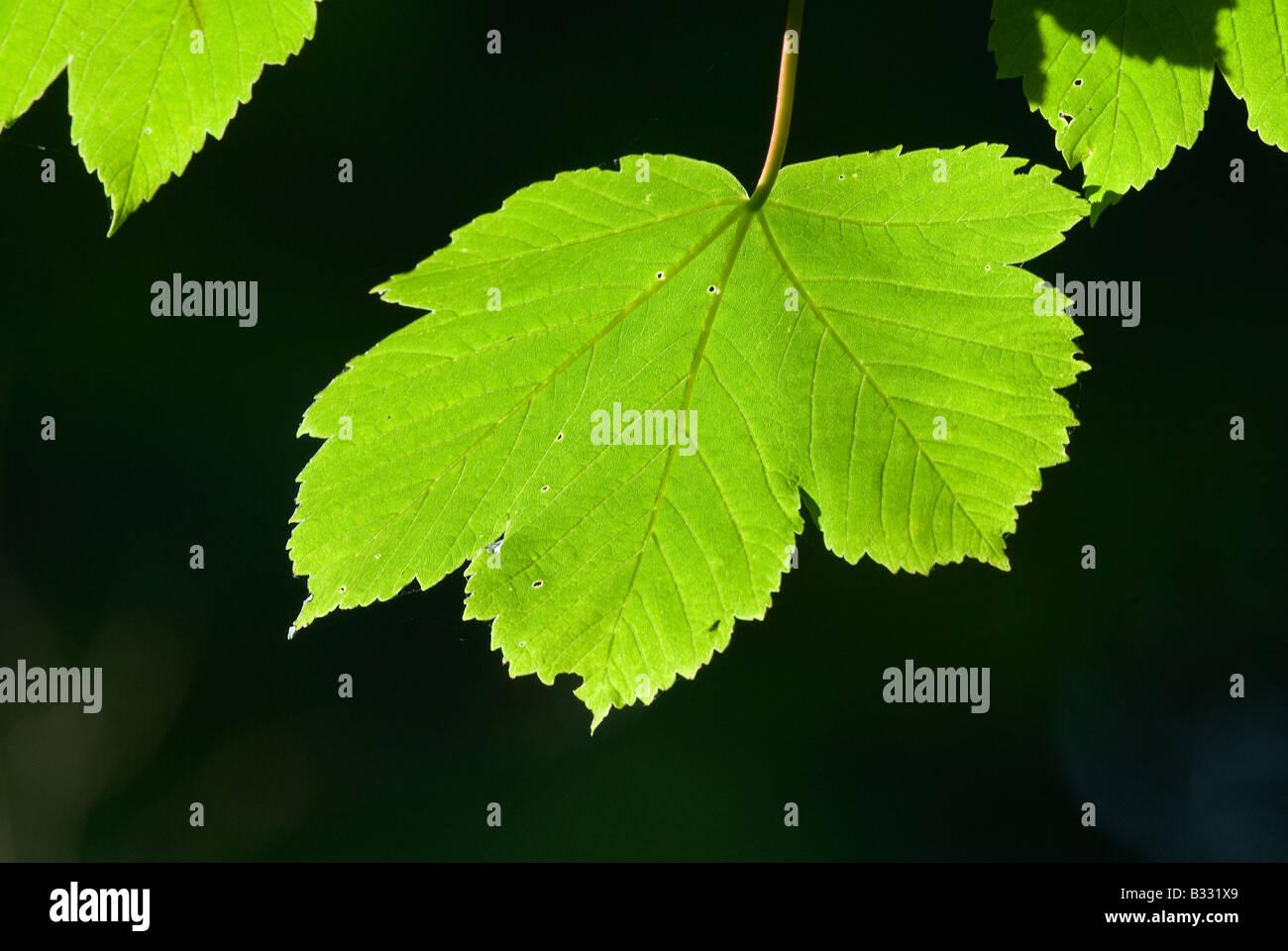 Sycamore Leaves in spring Norfolk April Stock Photo