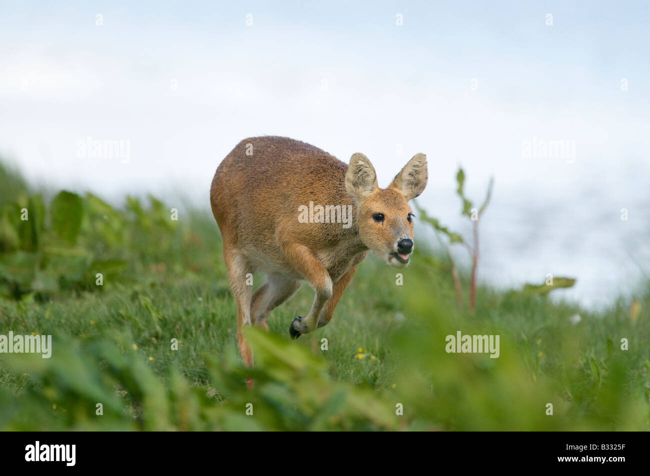 Chinese Water Deer Hydropotes intermis Cley Norfolk April - Stock Image