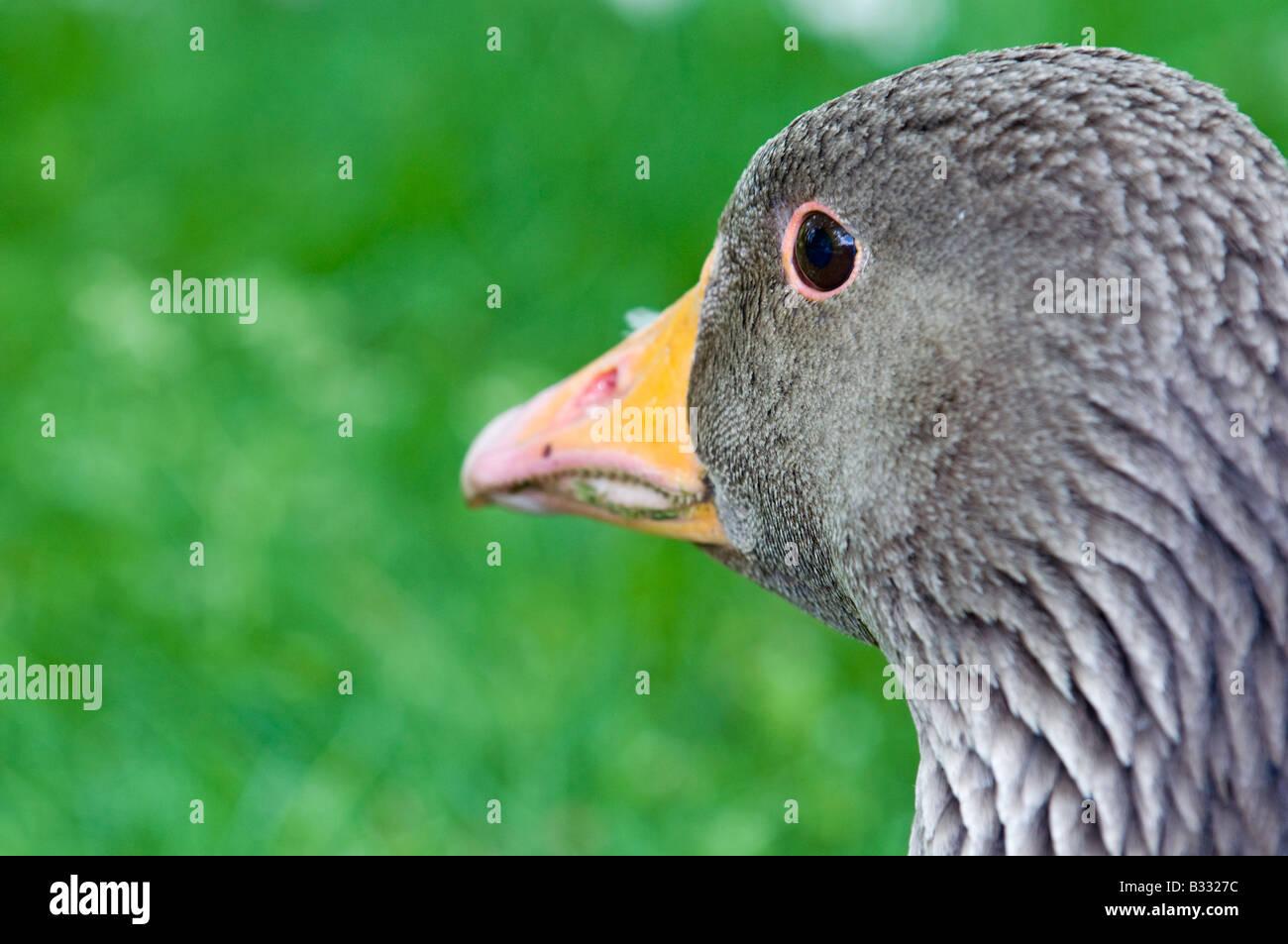 Greylag Goose Anser anser Cley Norfolk April Stock Photo