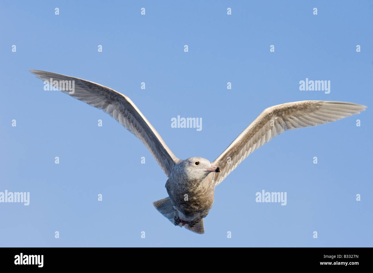 Glaucous Gull Larus hyperboreus 1st winter Varanger Fjord Norway March - Stock Image