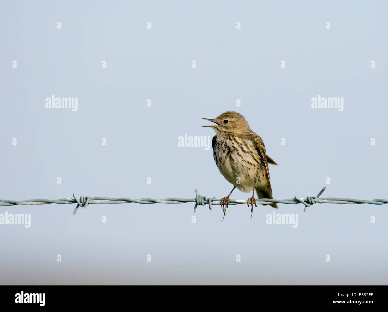 Meadow Pipit Anthus patensis in song spring Norfolk - Stock Image