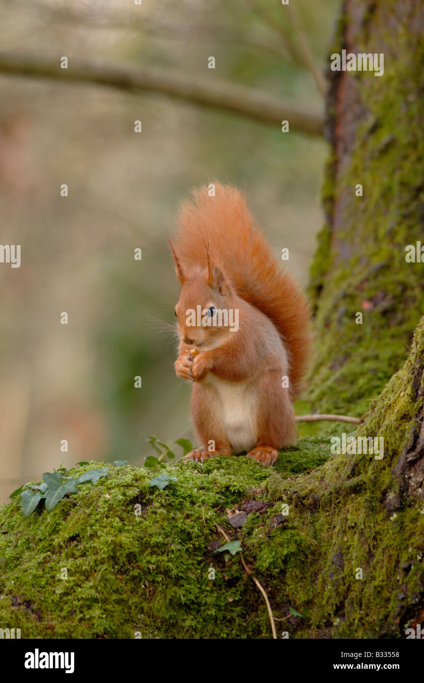Red Squirrel Sciurus vulgaris Photographed in England, in winter - Stock Image