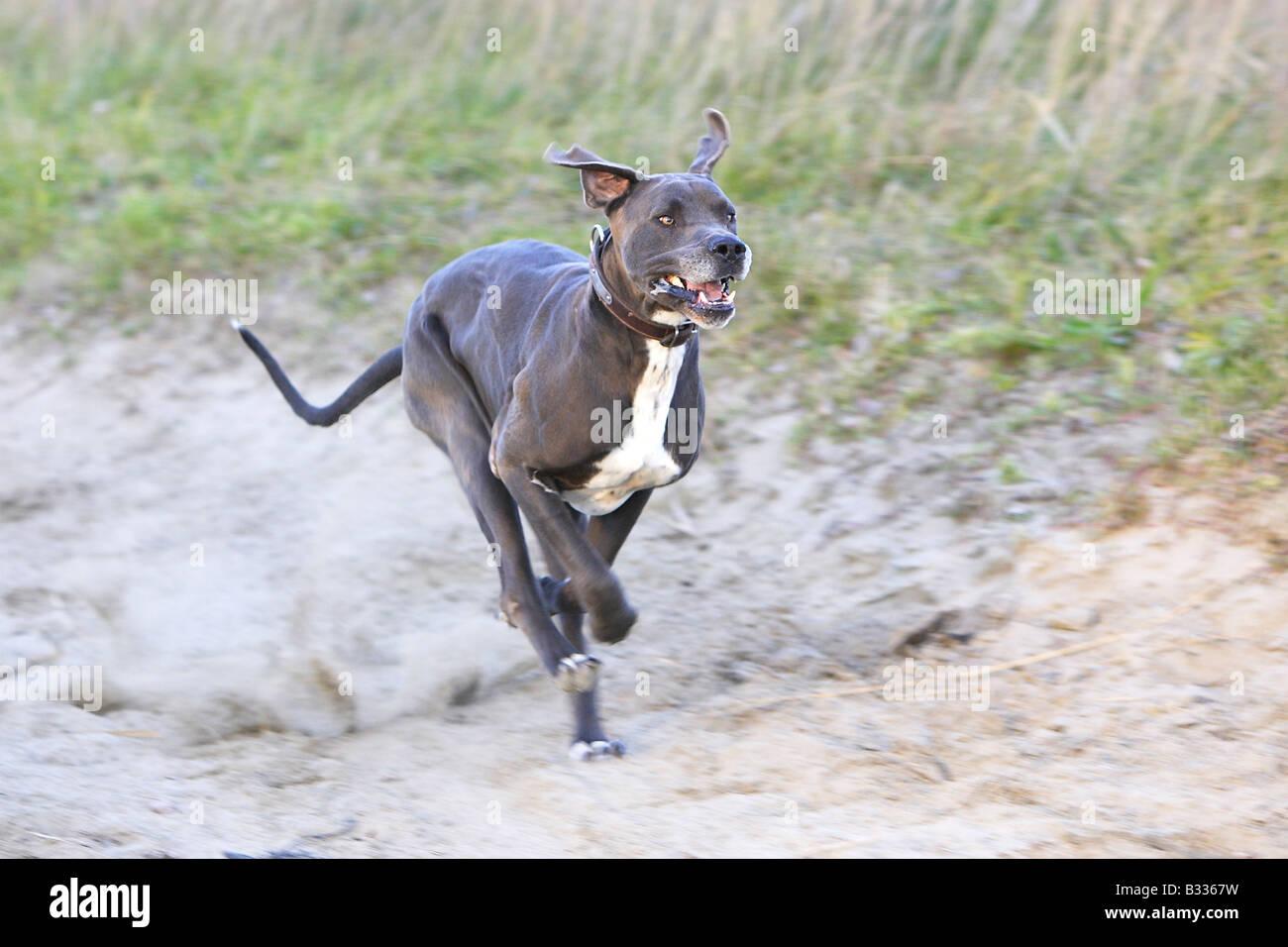 Great Dane (Canis lupus familiaris), running - Stock Image