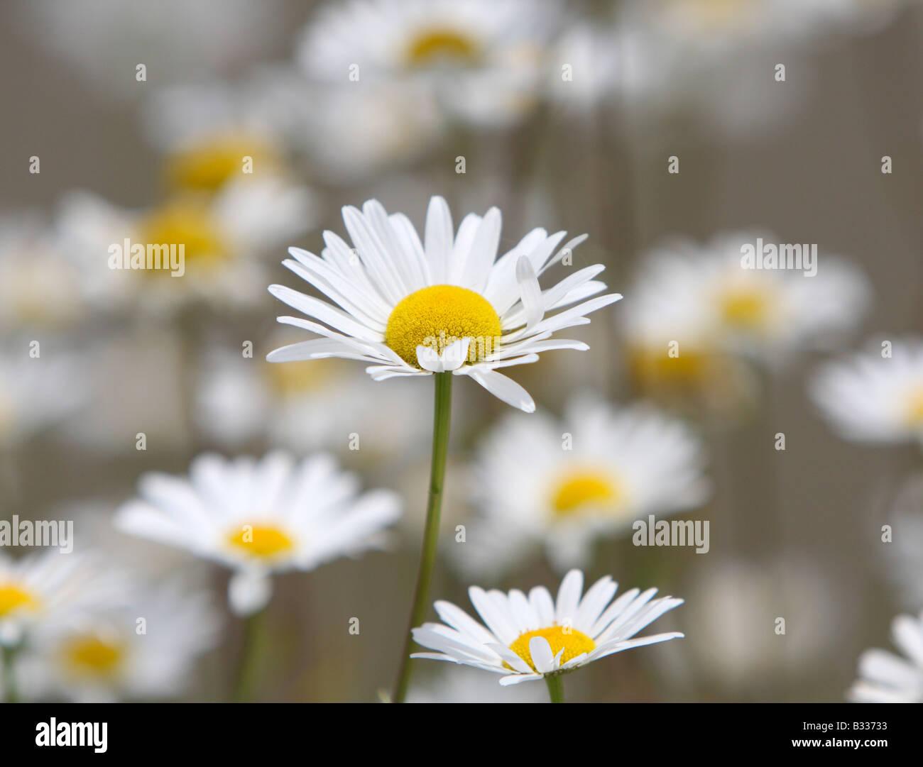 Ox-eye daisies, Leucanthemum vulgare Stock Photo