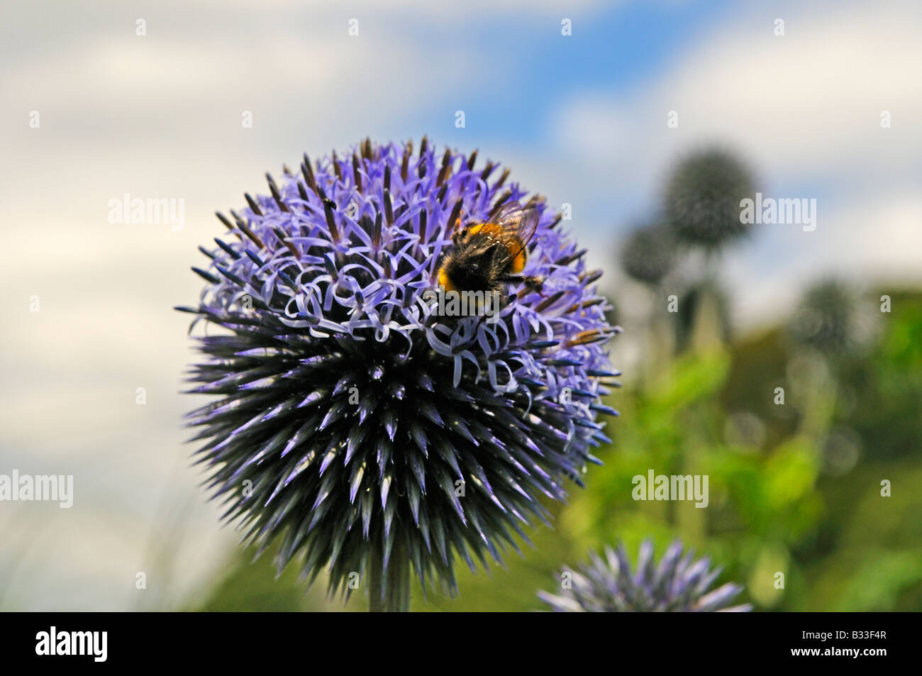 Bumble bee on Echinops bannaticus TAPLOW BLUE - Stock Image