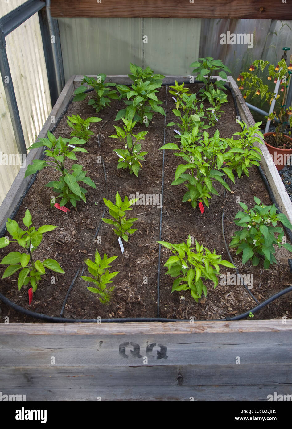 how to start pepper seeds in a greenhouse