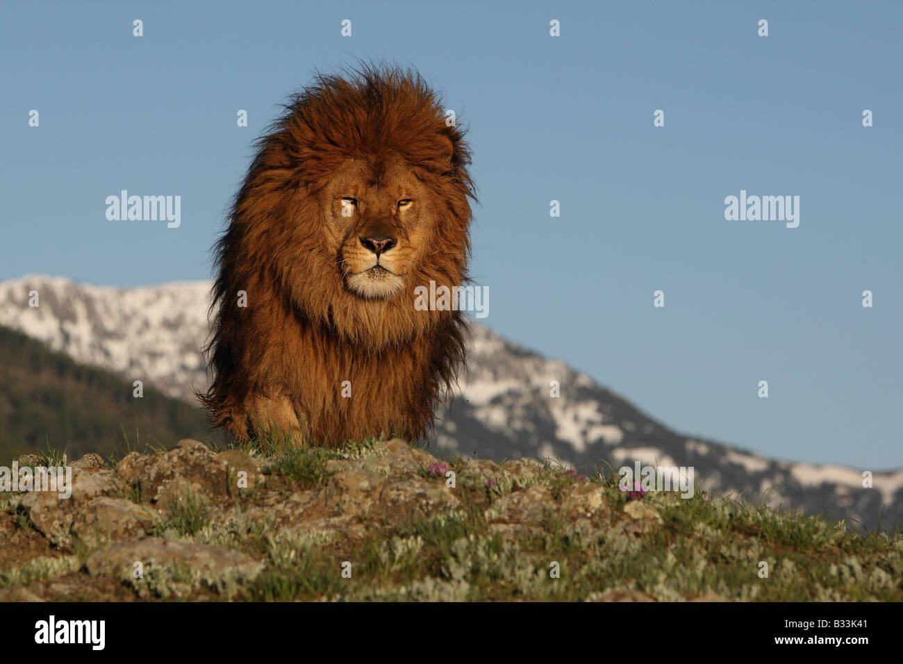 barbary lion - Stock Image