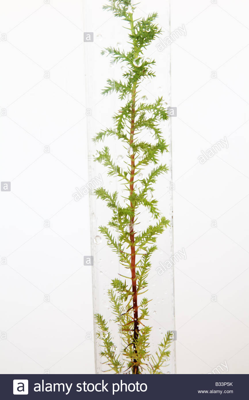 fir tree sapling against white background - Stock Image