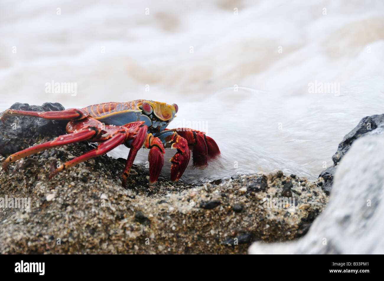 A red rock crab, also known as a Sally Lightfoot or Grapsus grapsus crab, surrounded by foamy surf. - Stock Image