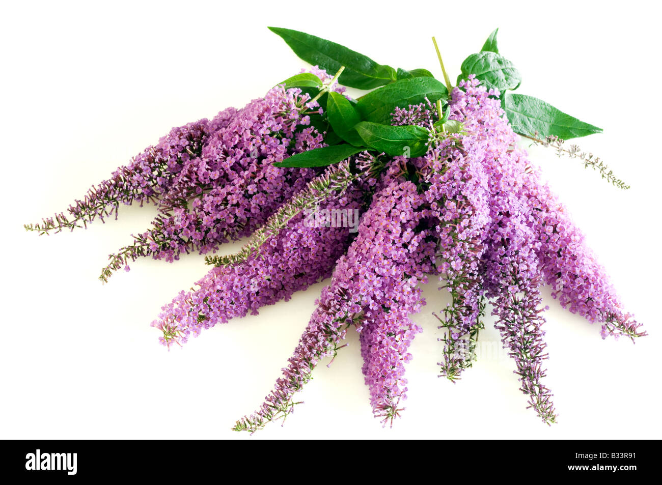 Bunch of mauve Budlea flowers and leaves - Stock Image
