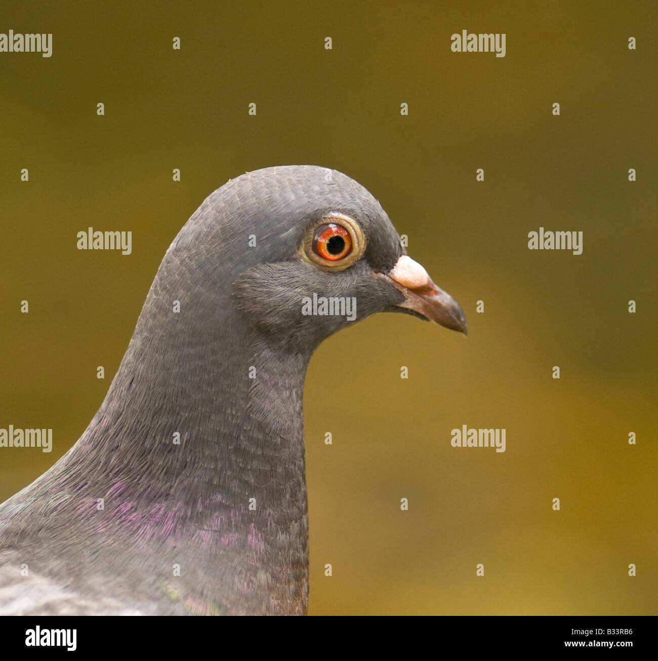 "Pigeon ""Columadea"" posing for the camera. - Stock Image"