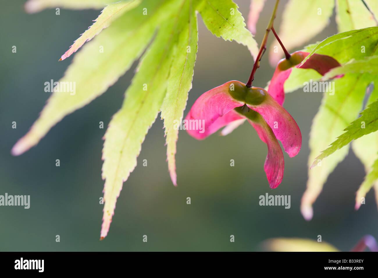 Acer Palmatum Japanese Maple Tree Seed Pods Stock Photo 19138643