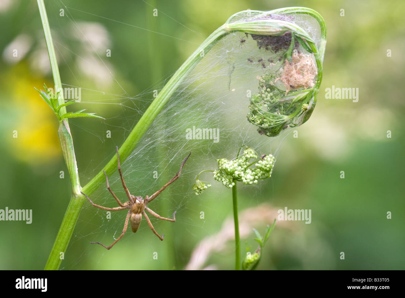 Nursery Web Spider Pisaura mirabillis adult female spider guarding freshly hatched spiderlings in web on an umbellifer - Stock Image