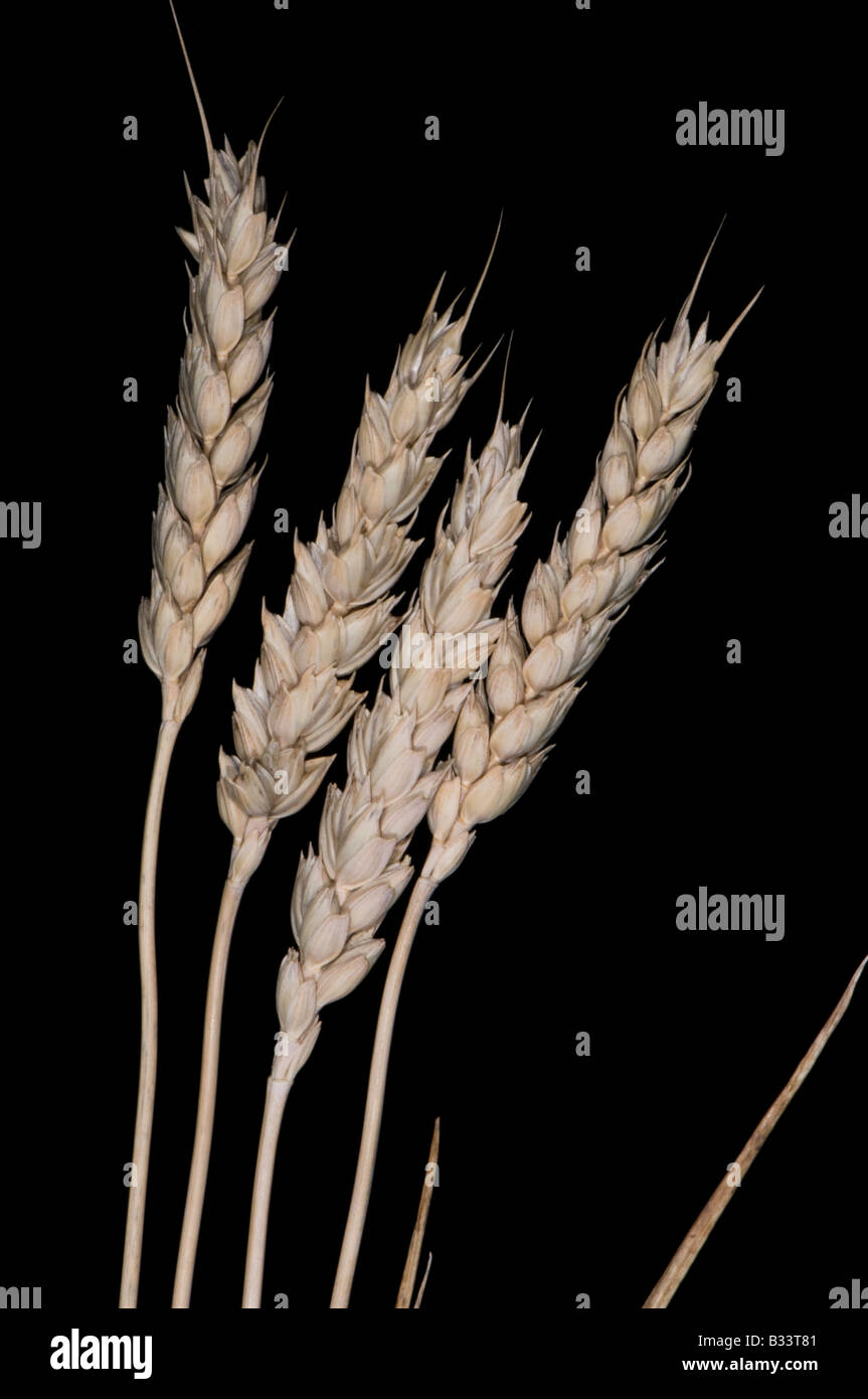 wheat stalks - Stock Image