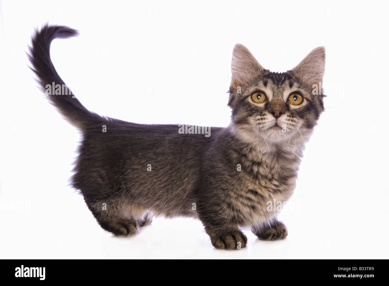 Cute tabby Munchkin cat with big gold eyes isolated on white background - Stock Image