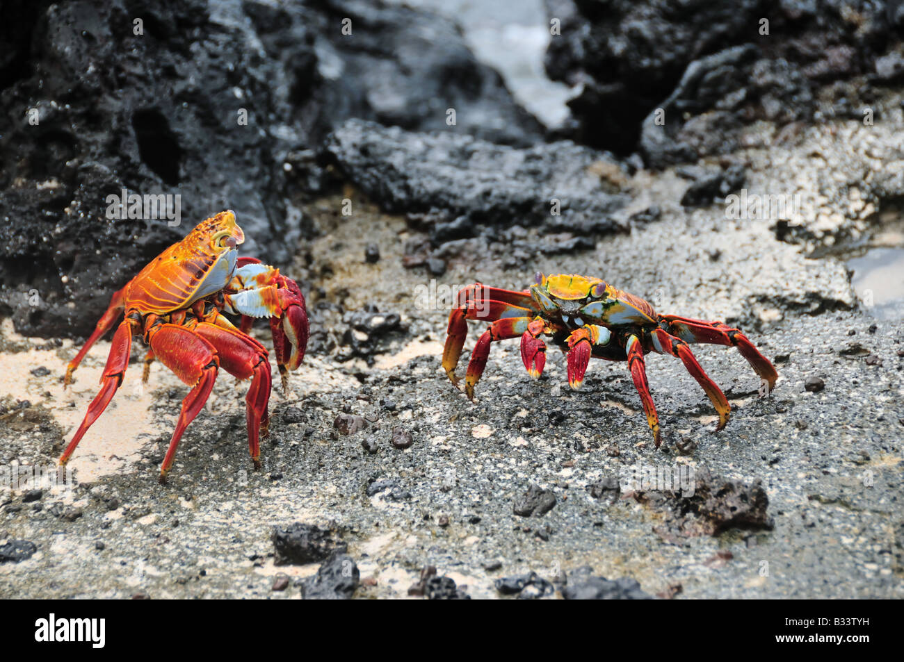 Two red rock crabs, also known as a Sally Lightfoot or Grapsus grapsus crabs, battle for territory. - Stock Image
