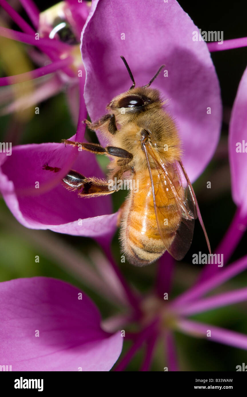 honey bee foraging on a purple spider flower Cleome hassleriana Caper family Capparidaceae - Stock Image